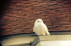 Photo by Jack FarrellOne of the Shoals' snowy owls. Inside a shuttered-for-the-season building, they sure can be scary.