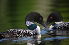 Photo courtesy USFWS/Gary J. WegeAll of a sudden, not one – but two – loons popped up onto the surface of the water ahead of us. Was this some sort of sign from my parents?