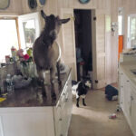 Messing about with . . . goats!